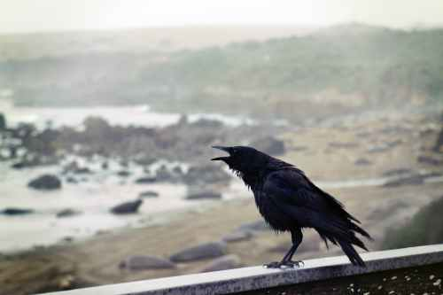 black bird perching on concrete wall with ocean overview